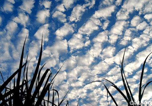 空一面のうろこ雲