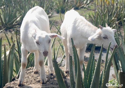 アロエ畑の子ヤギ