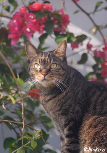 ブーゲンビレアと島猫