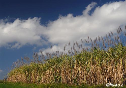 冬のさとうきび畑