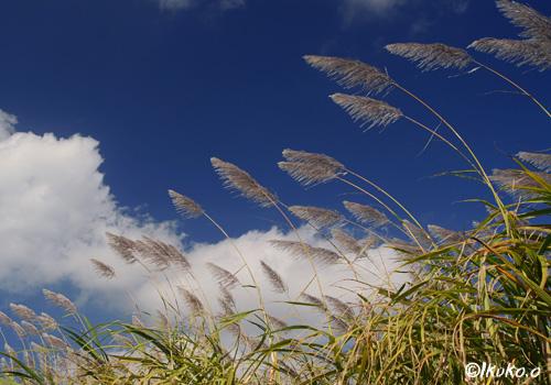 風に揺れるさとうきびの穂