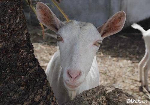 木の間からのぞくヤギ