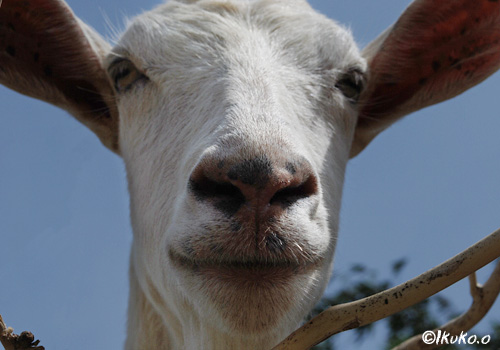 鼻息をかけるヤギ
