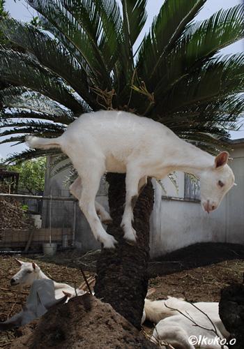 木に登った子ヤギ
