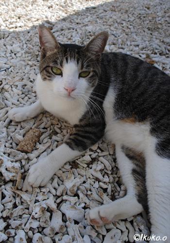 庭先の島猫