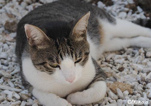 お昼寝中の島猫