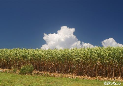 入道雲とさとうきび畑