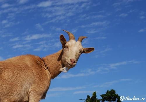 県道沿いにいるヤギ