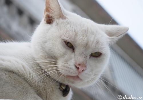 ガンを飛ばす島猫