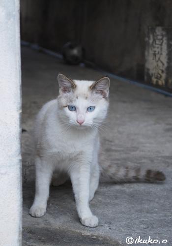 青い目の島猫
