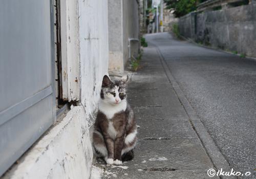 路地に座る島猫