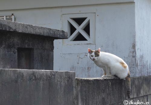 塀の上の島猫