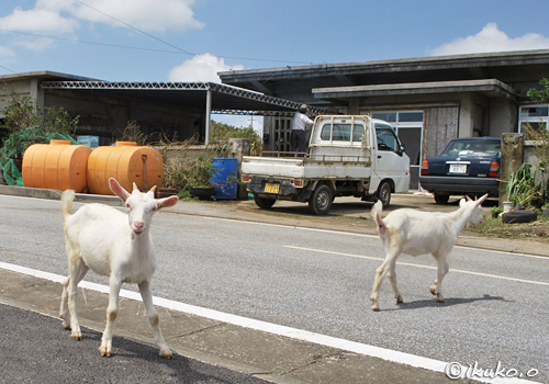 道路を渡るヤギ