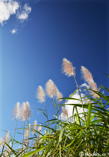 青空にのびるさとうきびの穂
