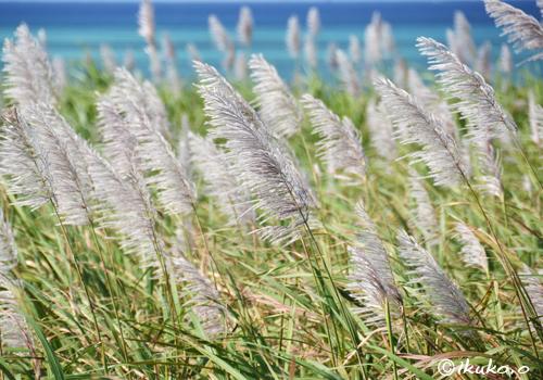 風になびくさとうきびの穂