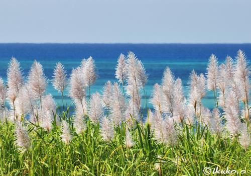 冬のさとうきびの穂と青い海