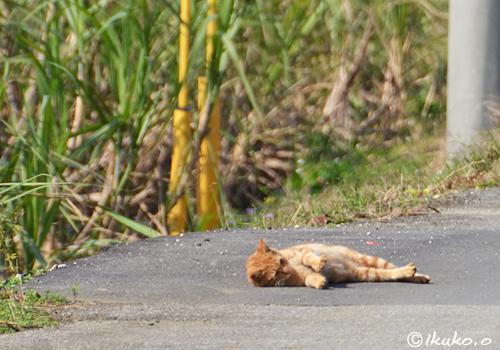 道路に寝転ぶ島猫