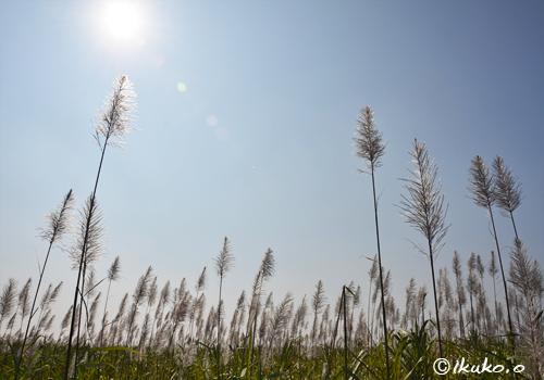 太陽とさとうきびの穂