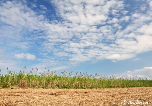 収穫間近のさとうきび畑