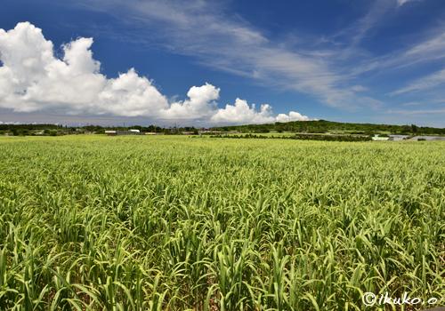 サトウキビ畑の上の夏雲