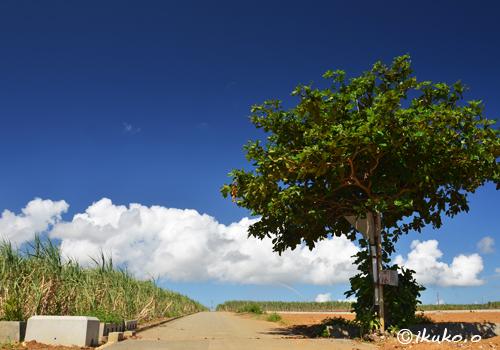 真夏のサトウキビ畑