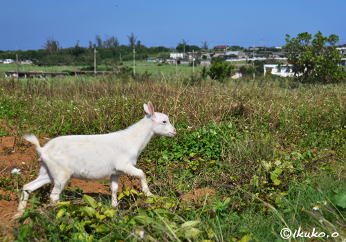 畑を駆け回る子ヤギ