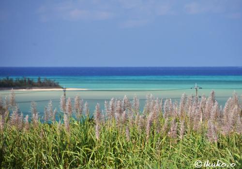 青い海とサトウキビの穂