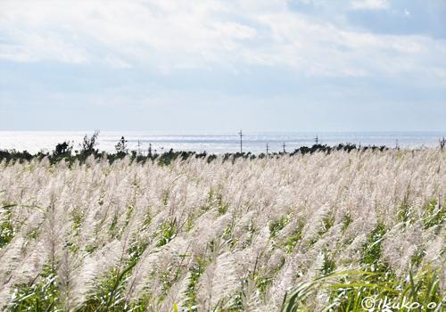 白く輝くサトウキビ畑