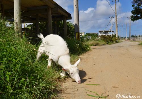道路の草を食べるヤギ