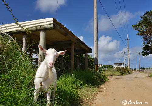 道路にいたヤギ