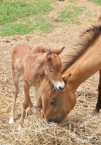 母馬に甘える子馬