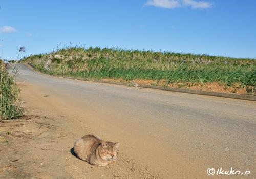さとうきび畑と島猫