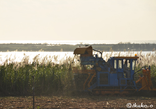 夕方の収穫作業