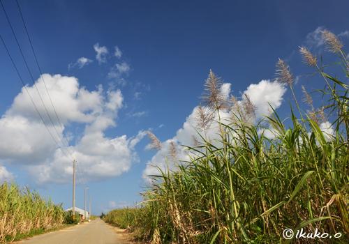 冬のサトウキビ畑