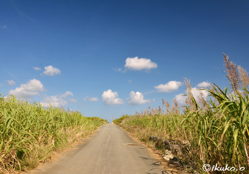 広大なサトウキビ畑