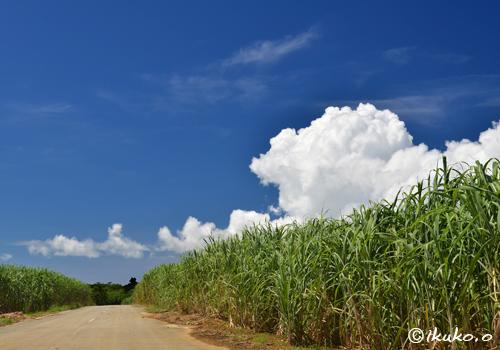 サトウキビ畑と入道雲