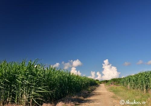 サトウキビ畑と夏雲