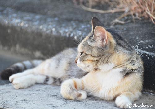 荒縄の首輪をつけた島猫