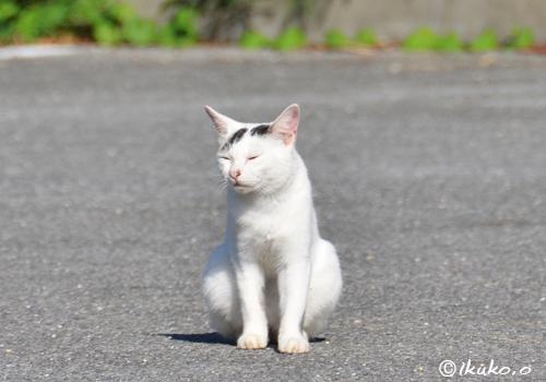 ひょうきん顔の島猫