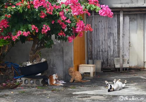 ブーゲンビレアと島猫たち