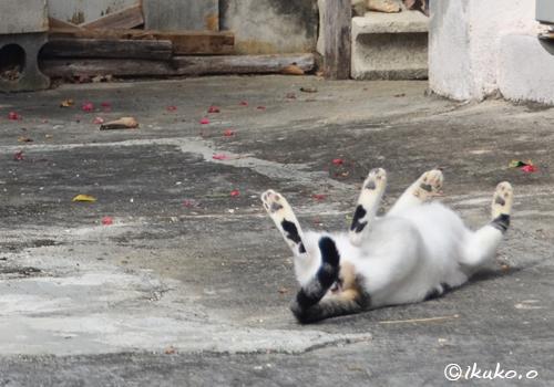 万歳ポーズの島猫