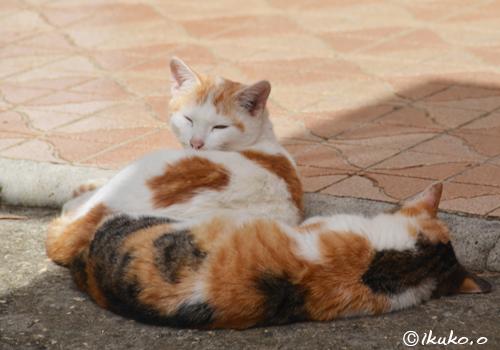 寝ぼけ顔の島猫