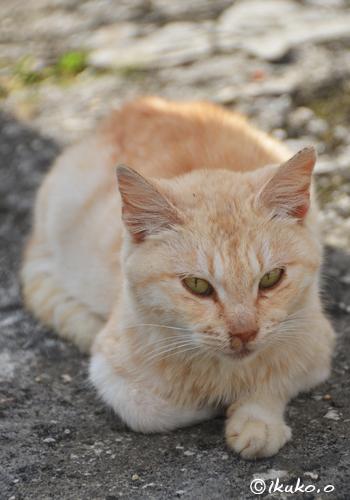 可愛らしい島猫
