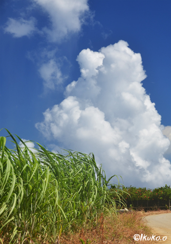 さとうきび畑と入道雲