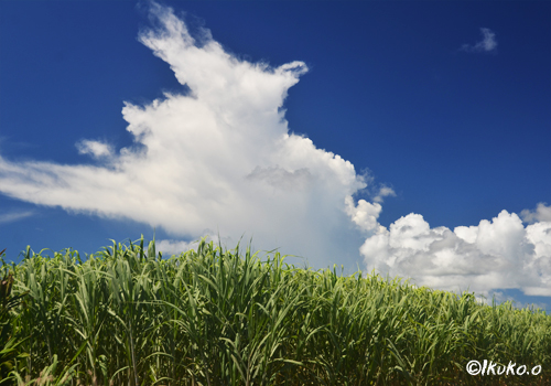 さとうきび畑と爆発する雲