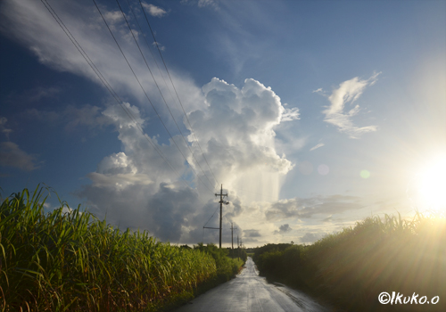 早朝のさとうきび畑と入道雲