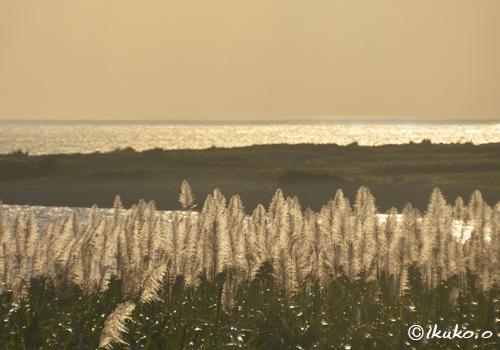 夕陽に染まるさとうきびの穂