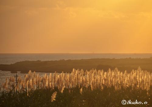 夕陽に赤く染まるさとうきびの穂