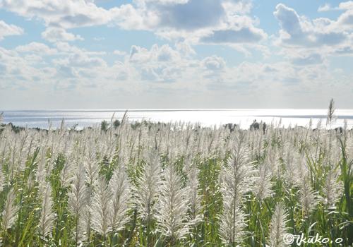 銀色に輝くサトウキビの穂と海