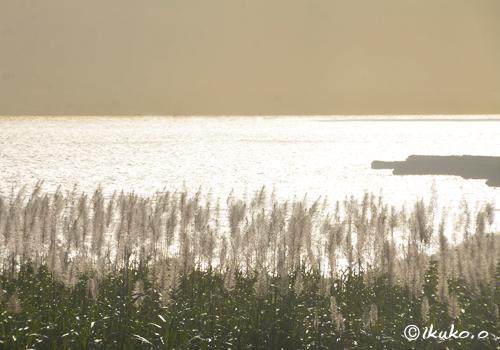 黄金色に輝さとうきびのく穂と海
